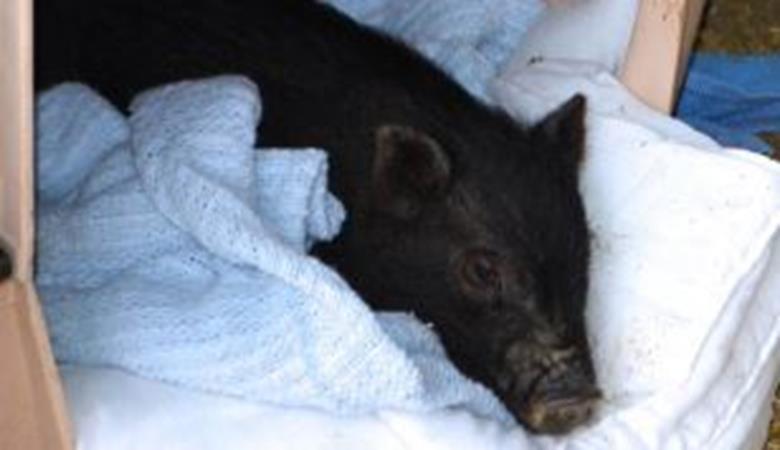 pig (Copy)_93561