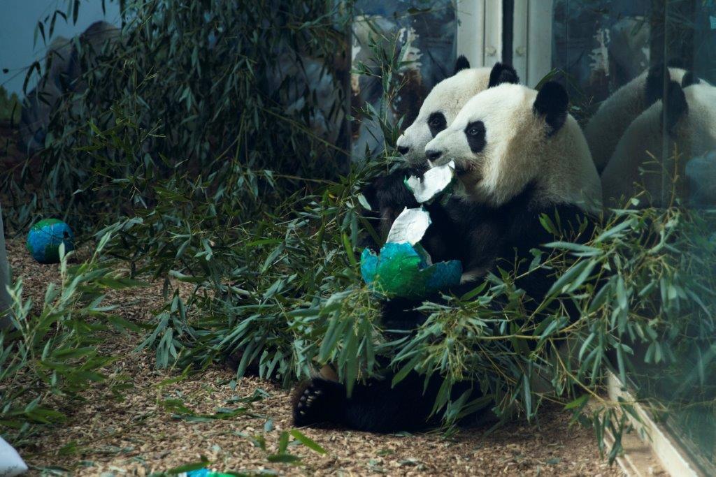mei-lun-and-mei-huan_zoo-atlanta_153926