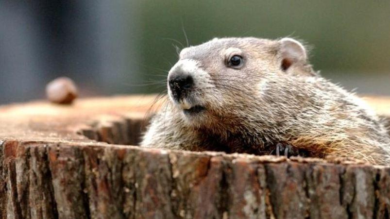groundhog_177905