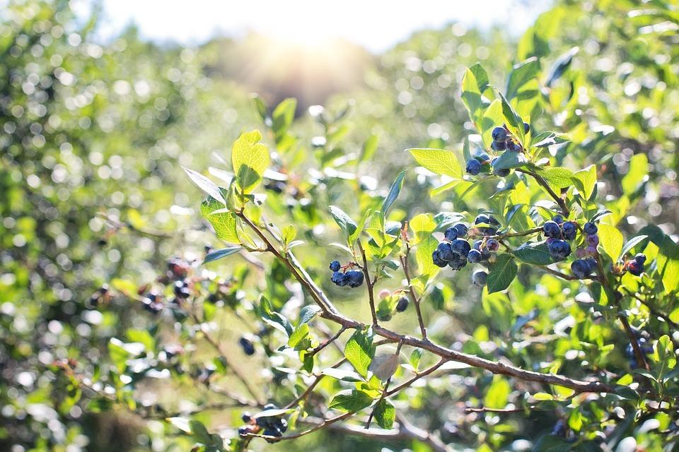 blueberries-1576403_960_720_202005