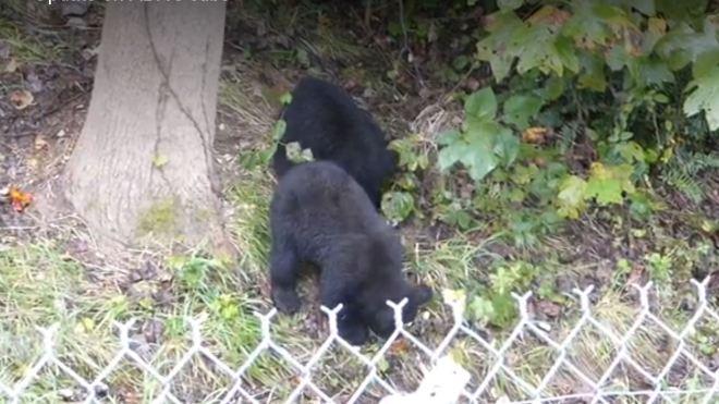 bear-cubs_288336