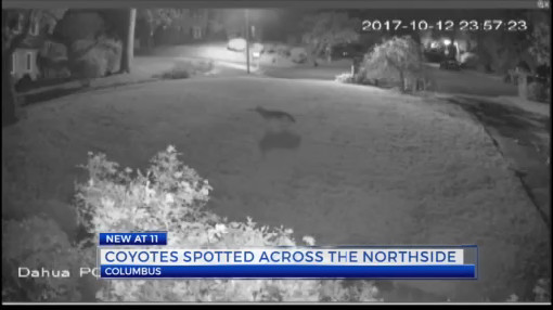 Coyotes spotted across the Northside_298795