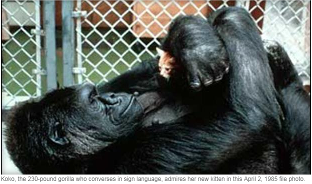 koko thee gorilla_1529592292432.PNG.jpg