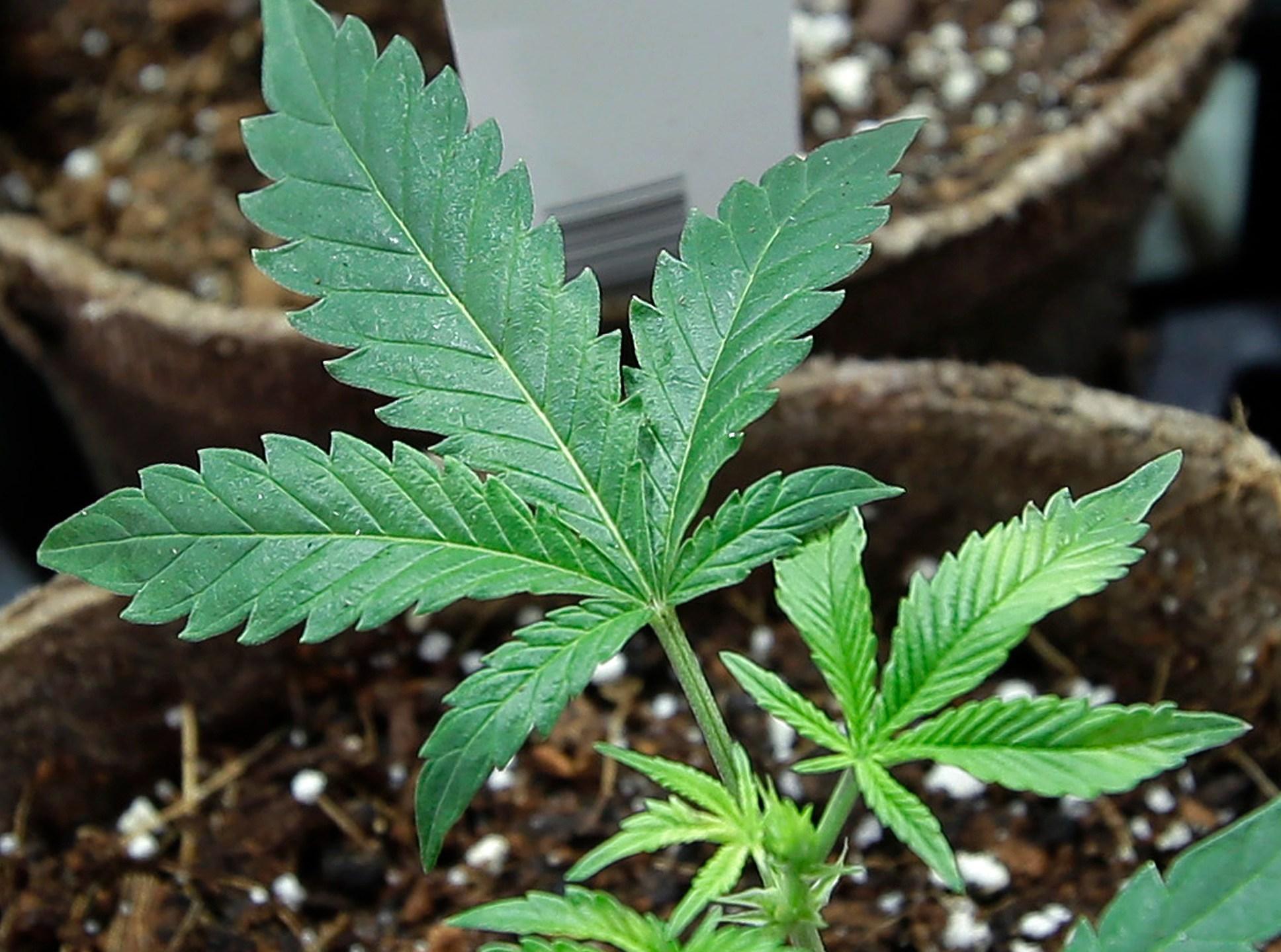 Medical_Marijuana_Employment_87725-159532.jpg49280093
