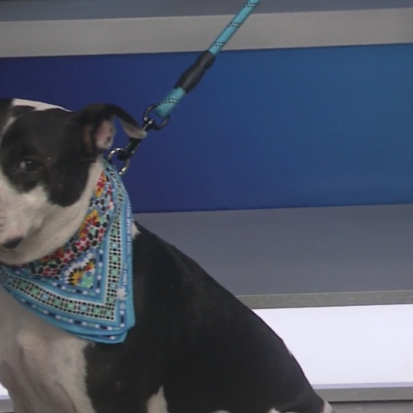 Hemingway: Pet of the Week from Humane Society of Harris County
