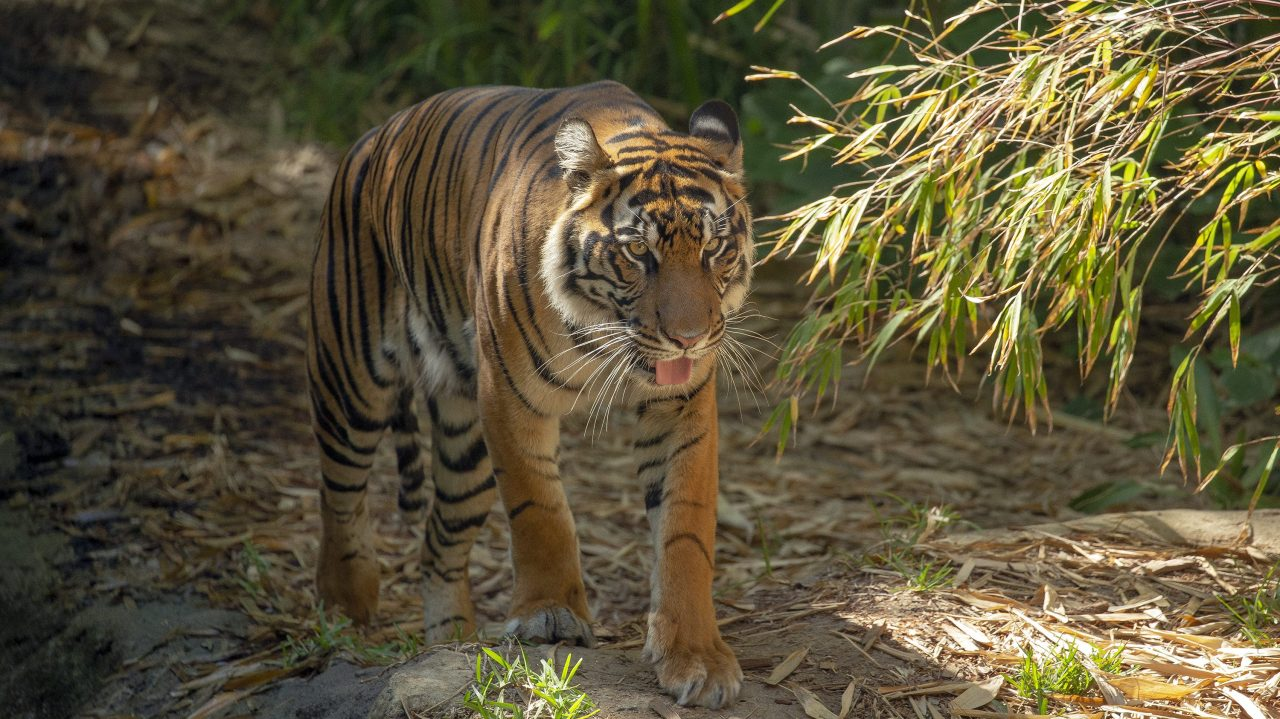Suspected COVID cases in tigers prompt San Diego Zoo exhibit closure